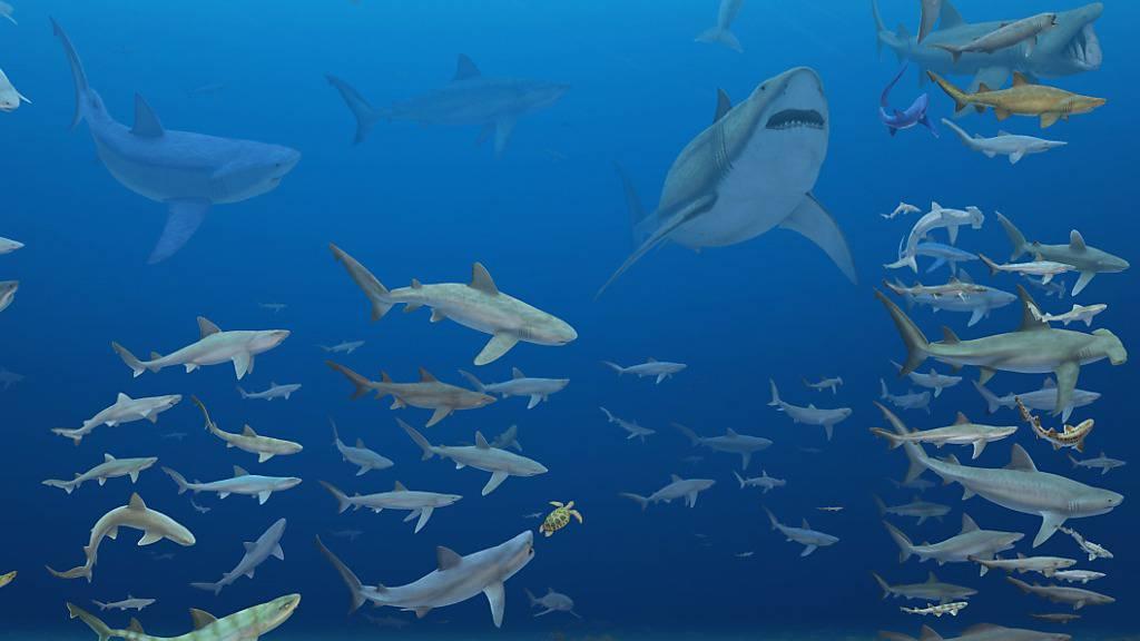 Forschende warfen einen Blick auf die vielfältige Hai-Welt der vergangenen 84 Millionen Jahre. Demnach wiesen Haie, die sich weniger spezialisiert ernähren, ein geringeres Aussterberisiko auf.