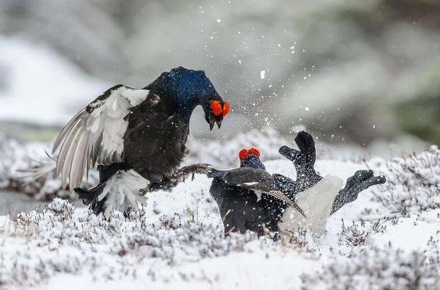 In der Arena der Birkhühner treffen sich die Tiere seit Jahrzehnten an der exakt gleichen Stelle für ihre Balz.
