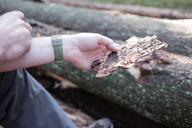 Werner Lutz zeigt die Rinde eines wegen des Borkenkäfers abgestorbenen Baumes.