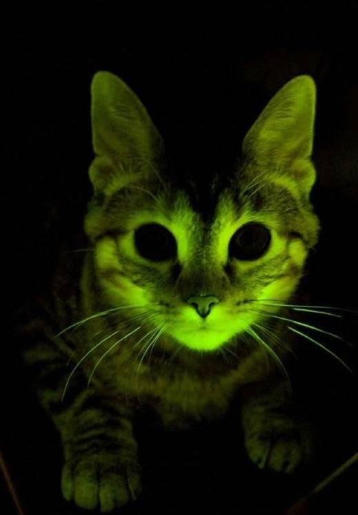 Forscher haben Katzen designt, die im UV-Licht leuchten.