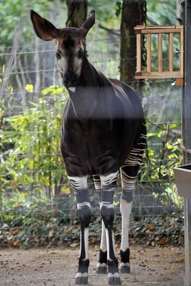 Okapi Hazima