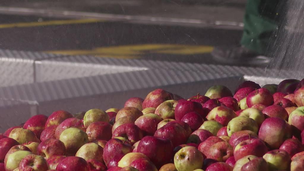 Magere Ernte: Mosterei Möhl muss in den sauren Apfel beissen