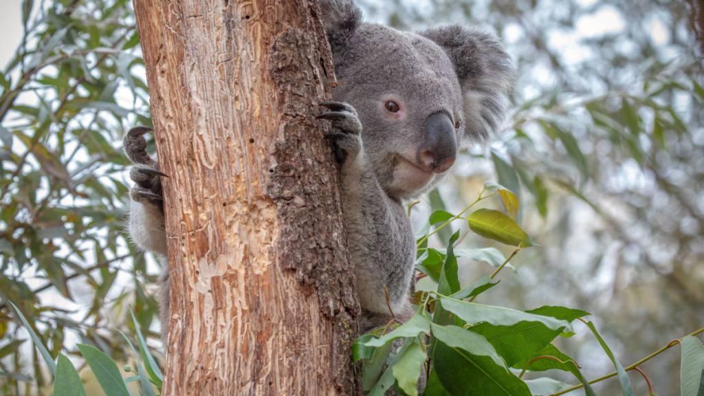 Zürcher Koala-Männchen Milo stirbt an Viruserkrankung
