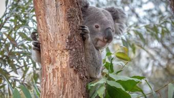 Der Zürcher Zoo verliert auch seinen zweiten männlichen Koala: Milo starb an einer Infektion mit Retroviren.