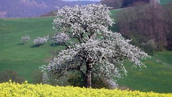 Hochstammbäume wie dieser sind wichtig für die Region.