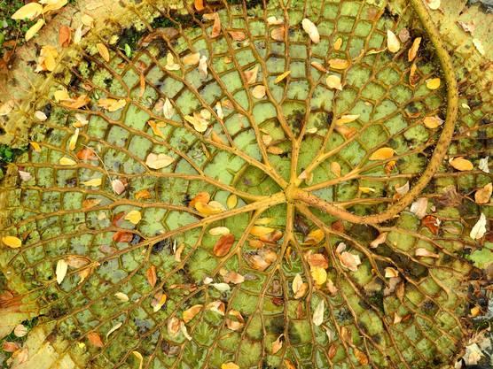 Das Seerosen Blatt lag beim Botanischen Garten umgekehrt auf dem Boden. Die Strukturen haben mich fasziniert. Freundliche Grüsse P. Fries