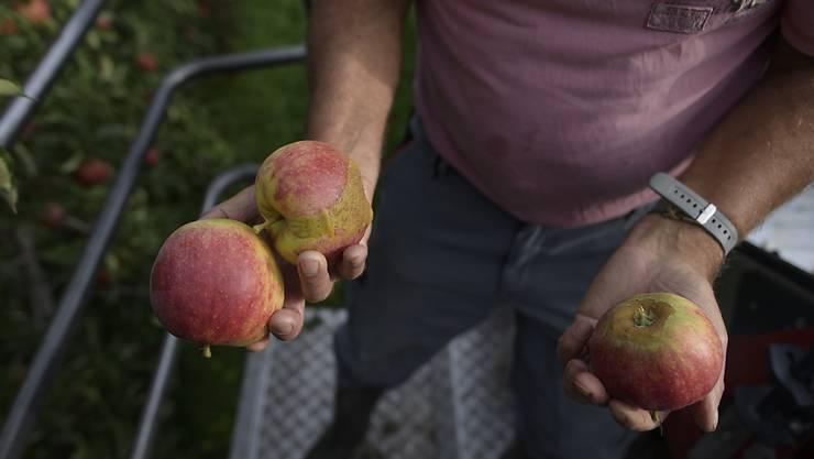 Nicht für den Verkauf im Detailhandel geeignet: Ein Obstbauer in Egnach TG zeigt im September bei der Ernte Frostschäden an seinen Äpfeln der Sorte Jonagold. (Archiv)