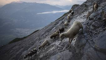 "A flock of sheep crosses alpine terrain in Flaesch, Switzerland, Tuesday, Aug. 6, 2019, under the ""Falknis"" peak (2562 meters above sea level). During the so-called ""Schafuebergang"", 1500 sheep wander from one meadow to the other, crossing on a steep, narrow alpine trail. (Gian Ehrenzeller/Keystone via AP)"