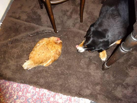 Huhn Helene kennt keine Angst vor Hund Jamie