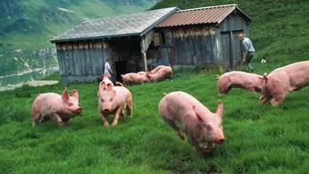 Schweizer Bauern können sich 2019 über ein leicht höheres Einkommen freuen als letztes Jahr. Die Schweinezucht etwa hat besser rentiert als auch schon. (Archivbild)