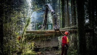 Forstbetrieb Leberberg fällt im Bellacher Wald kranke Eschen