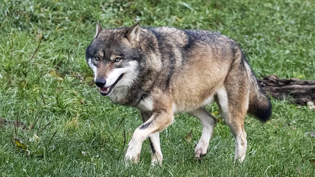 Wanderwege sollen wegen Wölfen gesperrt werden