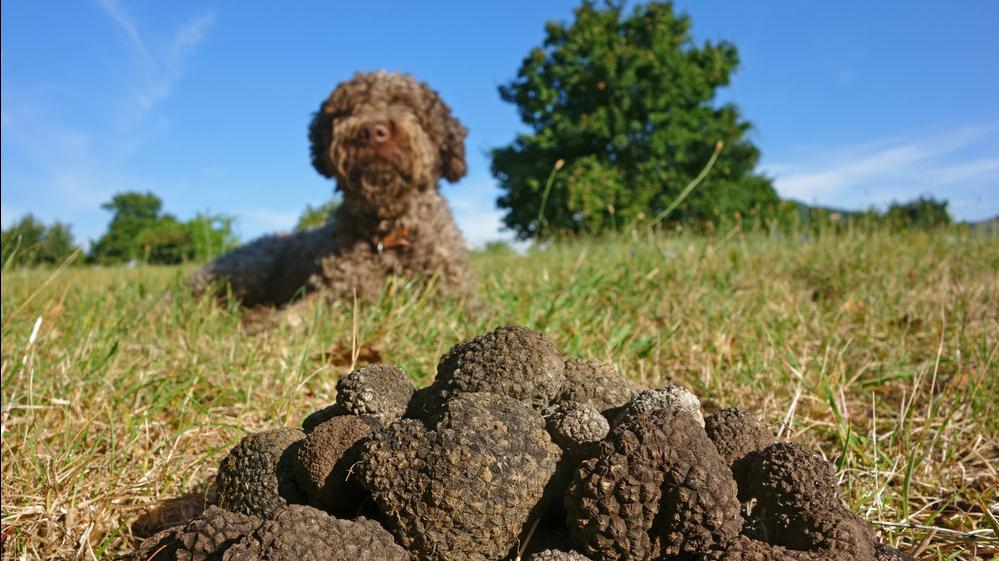 Hat auch dein Hund das Zeug zum Trüffelsucher?