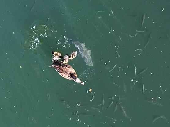 Es hat Nachwuchs gegeben in unserem Teich. Das Futter muss allerdings mit dem frechen Karpfen und dem Rest der Fische geteilt werden!