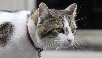 Der britische Regierungskater Larry geht auf Pirsch, allerdings mag er Katzen mehr als Mäuse