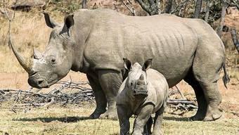 Nashörner führen in Südafrika derzeit ein ruhigeres Leben.