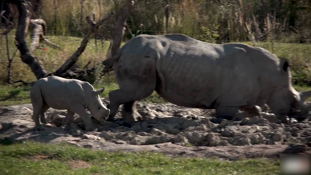 Nashornbaby erkundet zum ersten Mal die Lewa Savanne