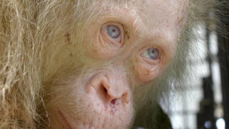 Weisses Fell und blaue Augen: Weltweit ist kein anderer Fall eines Orang-Utans bekannt, der an Albinismus leidet.