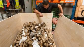 Gebeine aus der Kantonsarchäologie Brugg wurden ins Museum Burghalde gebracht