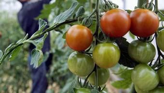 Das Blei im Boden beim Bässlergut macht den Tomaten nichts.