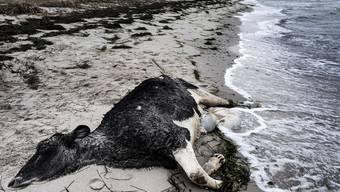 Mysteriös: Tote Kühe spült es an dänischer Küste an Land