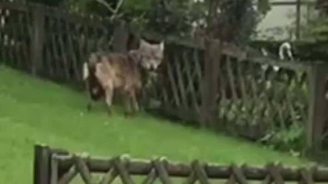 Wolf in Garten gesichtet