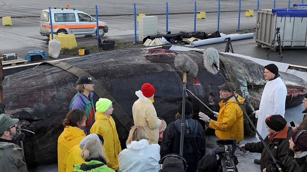 Die Experten erklären Medien in Wilhelmshaven, wie sie die Wale zerlegen.