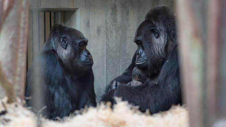 Eine neue Initiative fordert, dass Grundrechte für Primaten in der Basler Verfassung verankert werden.