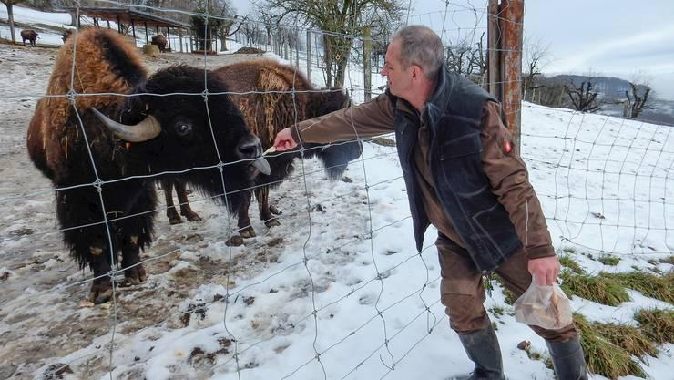 Die Bisons sehen zwar flauschig und gemütlich aus. Doch der Schein trügt. Züchter Markus Dettwiler musste das auch schon erfahren.