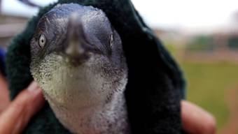 Einer der 49 freigelassenen Pinguine