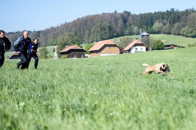 Auf Kommando flitzt der Hund los, um Mann anzugreifen