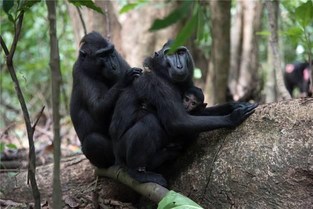 Sechs endemische Makakenarten gibt es auf Sulawesi. Sie leben in Gruppen mit bis zu hundert Tieren.