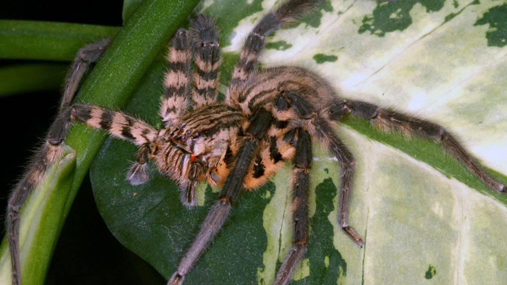 Cupiennius salei ist in Zentralamerika heimisch und eine der am besten erforschten Spinnenarten. Ihr Gift stellt sich als raffinierter Cocktail aufeinander abgestimmter Komponenten heraus.
