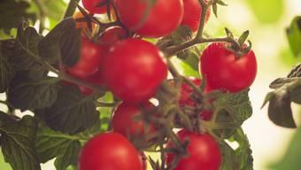 Süss-saure Tomate: Mit einigen Kniffen schmeckt sie noch besser.
