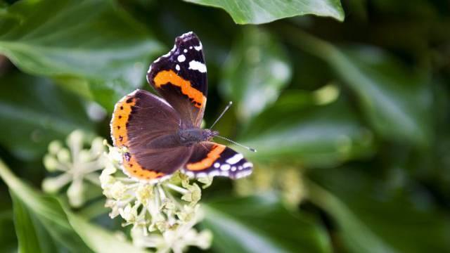 Ein Admiral-Schmetterling letzten Oktober in Meggen