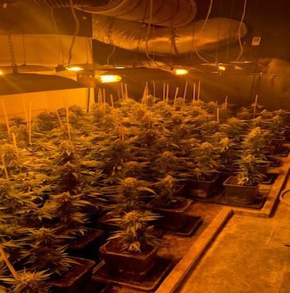 Zwei Anlagen konnte die Polizei ausheben. Ca. 369 Hanfpflanzen wurden insgesamt ausgehoben.