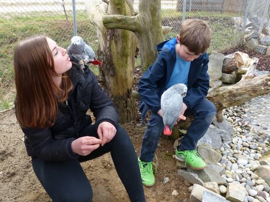 Vogelpark Ambigua in Zeihen startet in die vierte Saison: Vertrautes Beisammensein mit den Graupapageien.