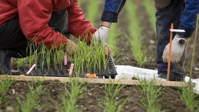 Forschung mit gentechnisch veränderten Weizensetzlingen in der Schweiz (Archiv)