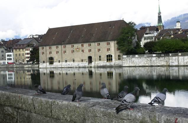 Immer mehr Tauben bekommt man in Solothurn zu sehen.