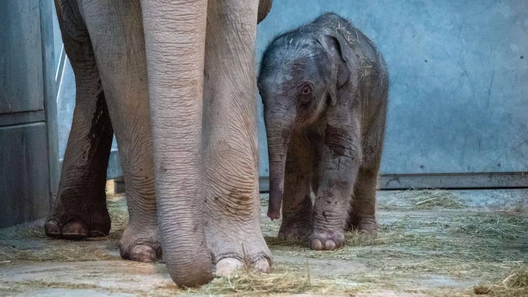 So herzig: Elefanten-Nachwuchs im Zoo Zürich