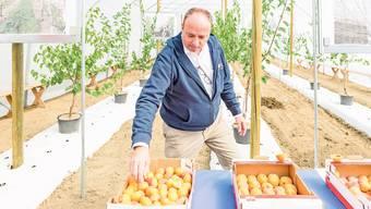 Regierungsrat Markus Dieth bei der Einweihung der Aprikosentunnel in Egliswil.
