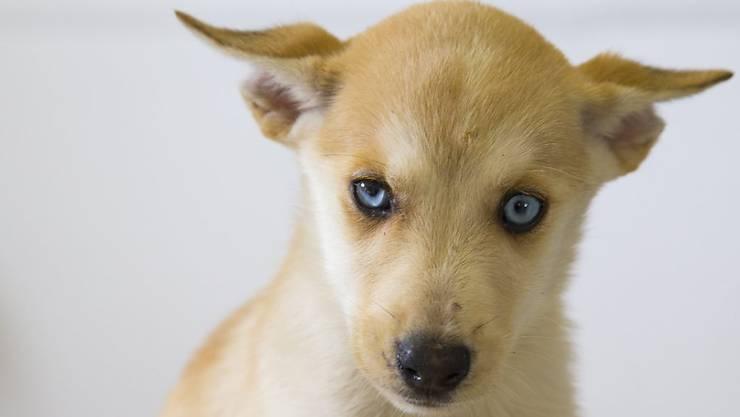 Hunde waren auch 2015 wieder am häufigsten von Tierschutzverfahren betroffen (Archivbild).