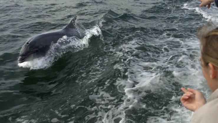 Der Delfin «Fungie» schwimmt neben einem Boot mit Touristen. Foto: PA Archive/dpa