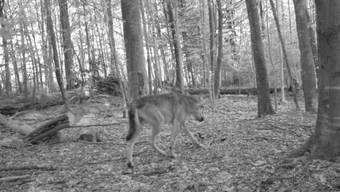 Wolf im Wald bei Gossau, 26. August 2015, aufgenommen um 20.11 Uhr von einer Fotofalle.