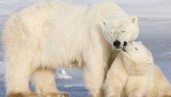 Die Eisbären sind viel älter als bisher gedacht
