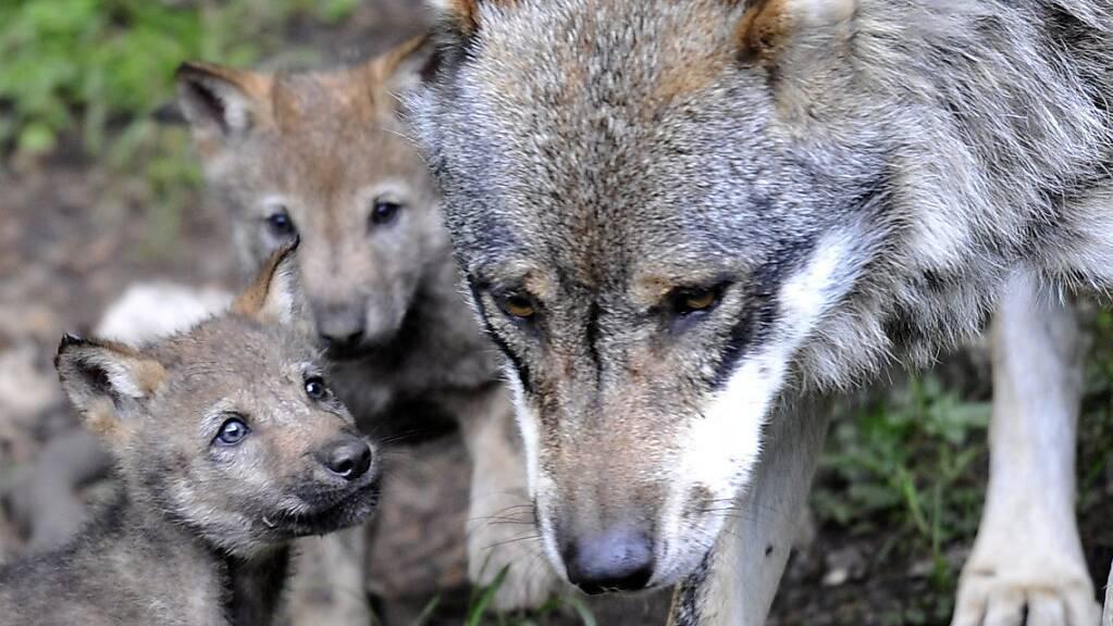 22 Wölfe sind im Wallis unterwegs. Über 300 Nutztiere wurden von ihnen in diesem Jahr gerissen. Der Schaden belief sich auf rund 114'000 Franken. (Symbolbild)
