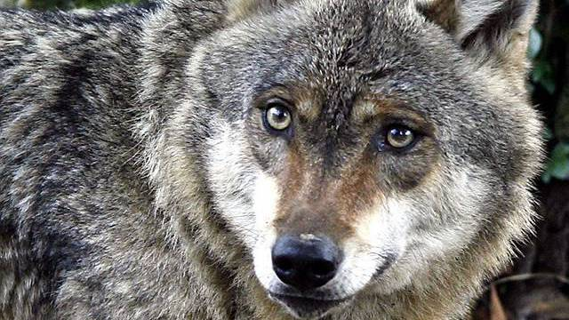 Wolf ist bei Schafzüchtern nicht gerne gesehen (Archiv)