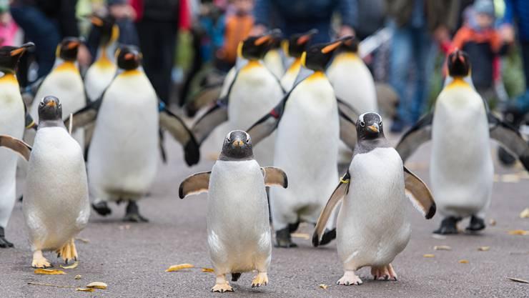 Der Zolli-Winter beginnt mit dem Pinguinspaziergang