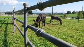 Die Esel-Wallache Alfonso (links) und Cosimo auf ihrer Weide im Thunstetter Erlenmoos.