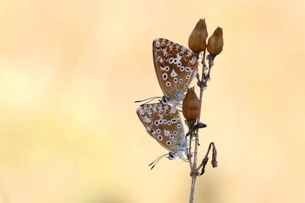 Im Doppelpack: Weibchen des Himmelblauen Bläulings